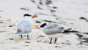 Common Tern Birdwatching Sian Kaan Private Tour Photo Safari