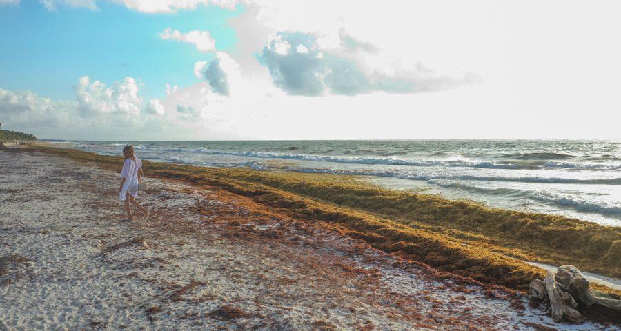sargassum tulum
